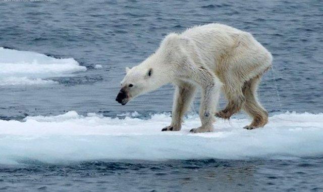 Imatge de l'ós polar desnodrit compartida per la fotògrafa Kerstin Langenberger