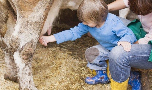Un nen munyint una vaca