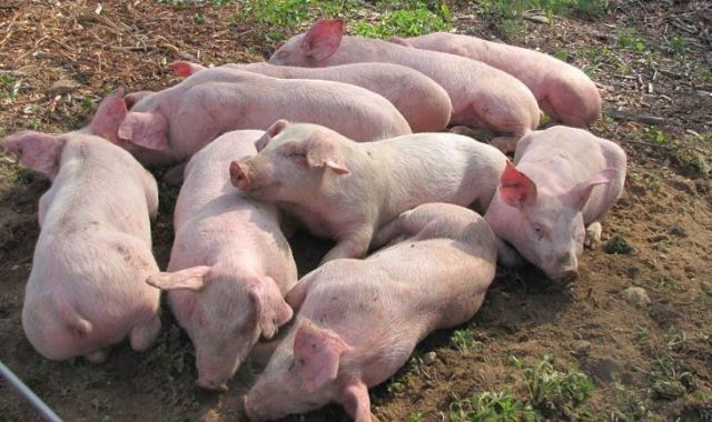 La producció de carn de porc a Catalunya és la més alta de l'Estat