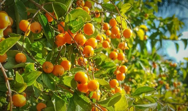 L'economia valenciana s'ha basat tradicionalment en el conreu de la taronja