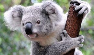 Els koales són una espècia autòctona d'Austràlia